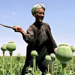 Afghan harvester in poppy field