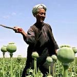 Afghan harvester in poppy field